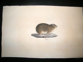 Saint Hilaire & Cuvier C1830 Folio Hand Colored Print. Hyrax